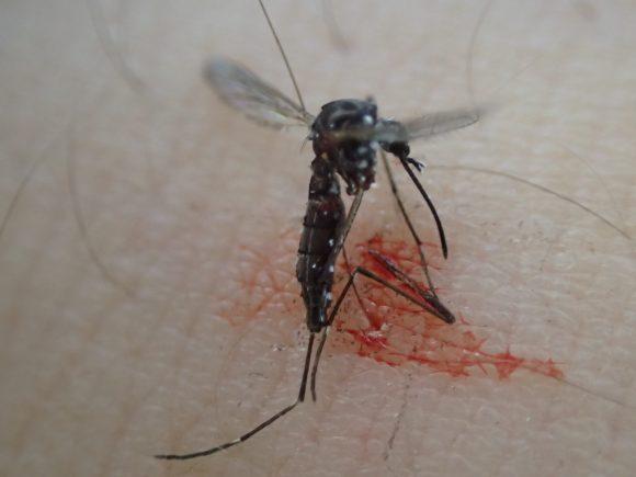 蚊が満腹まで血を吸って飛び立とうとした瞬間を狙って平手打ち