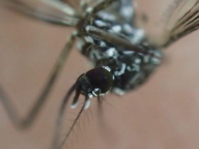 人間の手の平でひっくり返って動かなくなった害虫の蚊(ヒトスジシマカ)