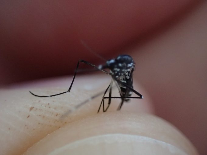 人間の血液を吸い終えて飛び立とうとした瞬間に捕まった害虫の蚊(ヒトスジシマカ)