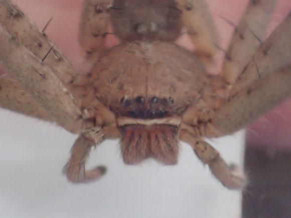 ゴキブリの天敵アシダカグモの目がギラリと光る?
