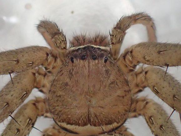 ゴキブリの天敵(通称:軍曹)アシダカグモ