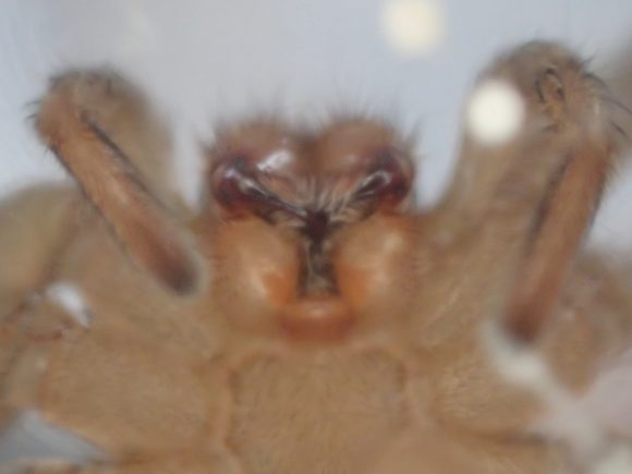 ゴキブリを喰らうアシダカグモの鋭い牙