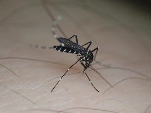人間から血を吸う害虫の蚊(ヒトスジシマカ)