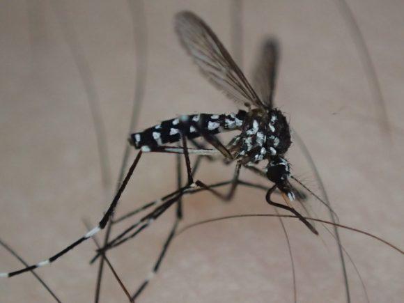 人間や動物から血を吸うため吸血兵器と化したハイテクな蚊の口器