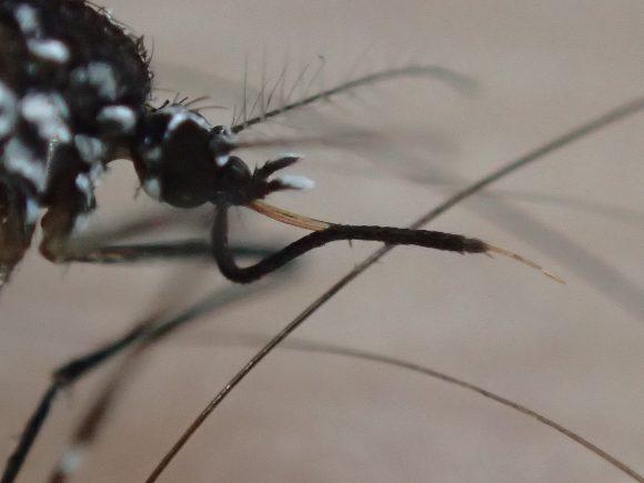 下唇が「く」の字に折れ曲がったまま死んだ蚊の拡大写真