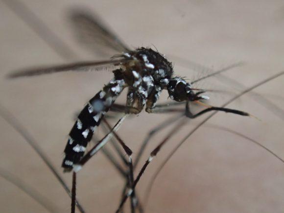 複雑な構造で血を吸うことに特化した害虫の蚊の口器