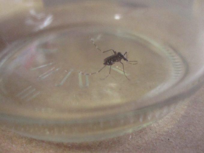 腹一杯に人間の生き血を吸ったヤブ蚊・ヒトスジシマカを捕獲