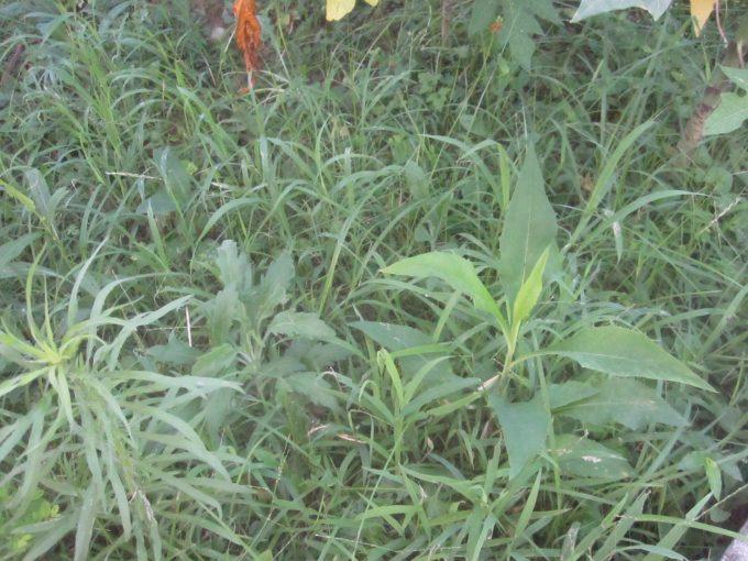 30センチの高さまで生い茂った雑草を刈る