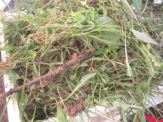 発泡スチロールから溢れんばかりに雑草が積み上がったので終了!