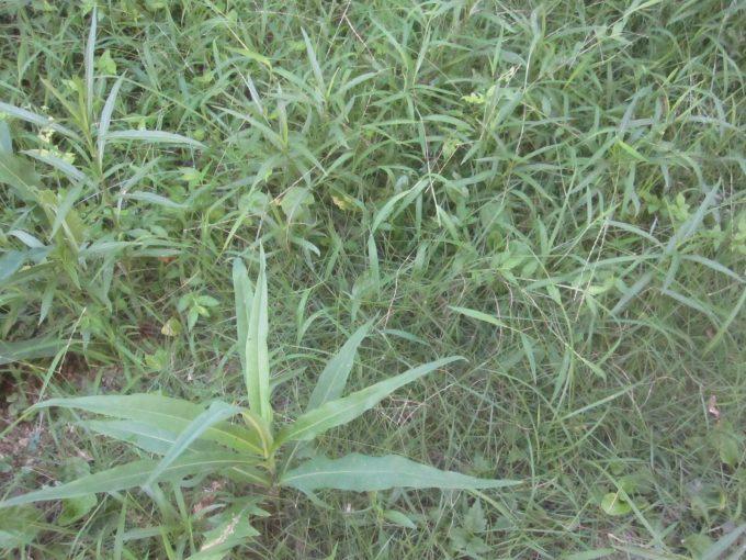 梅雨の雨で伸び放題の雑草