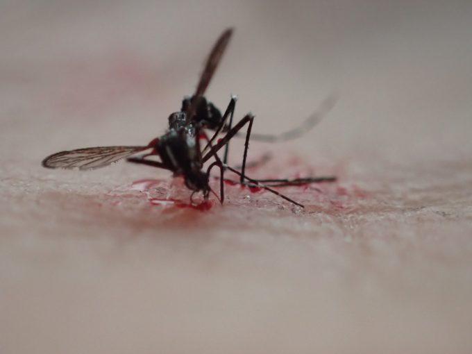 感染症を媒介する害虫ヤブ蚊・ヒトスジシマカを叩いて退治した