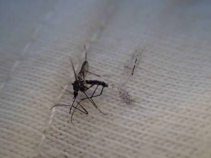ヤブ蚊・ヒトスジシマカを白い洋服の上で叩いてしまい黒い鱗粉で汚れてしまった