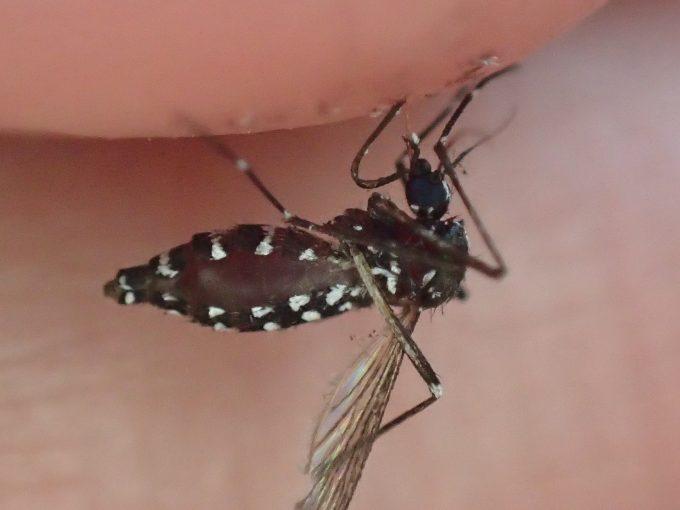 血を吸い終えて飛び立つ寸前に退治されたヒトスジシマカ(蚊)