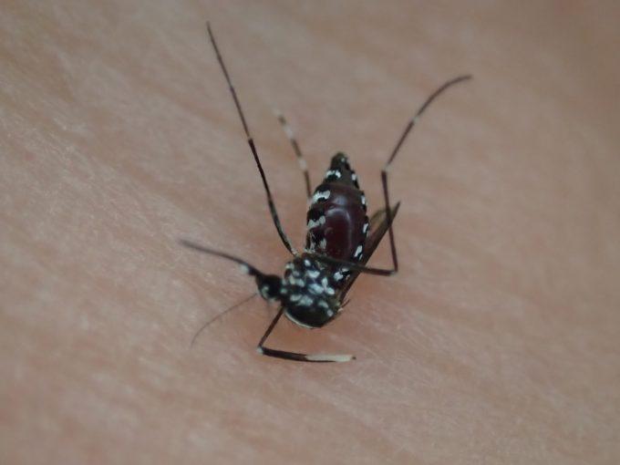 血を吸ったヤブ蚊は4,5日間は生き続けるけれど、30分であの世へ旅立っていた