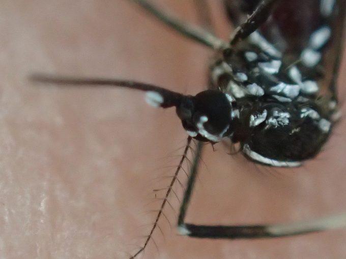 激安ショップDAISOの虫よけシールはヤブ蚊に対して有効だと証明した実験だった