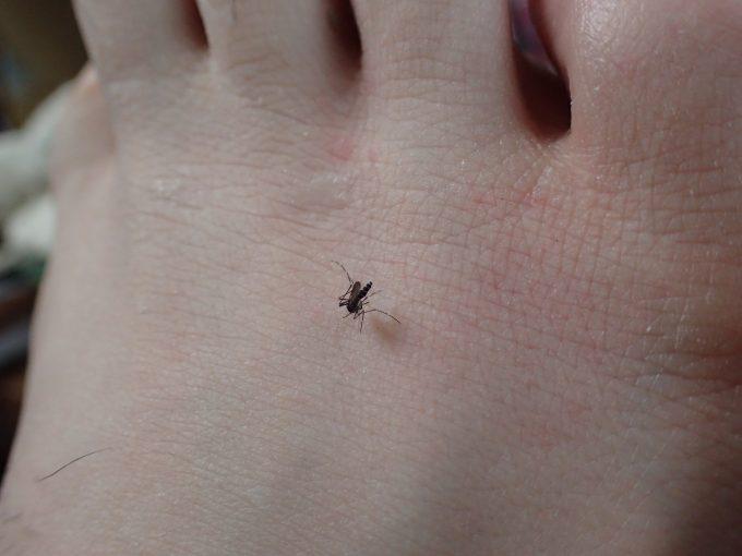 足の甲・指の付け根付近に狙いを定めて血を吸い出すヤブ蚊