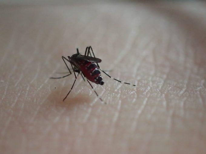 人間のちを吸って腹部が赤黒く膨らんだ蚊の写真