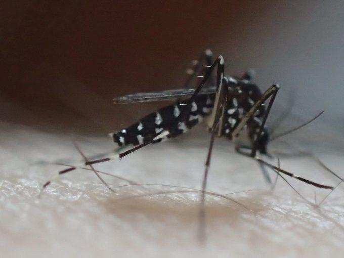 腕から血を吸う黒いヤブ蚊・ヒトスジシマカ