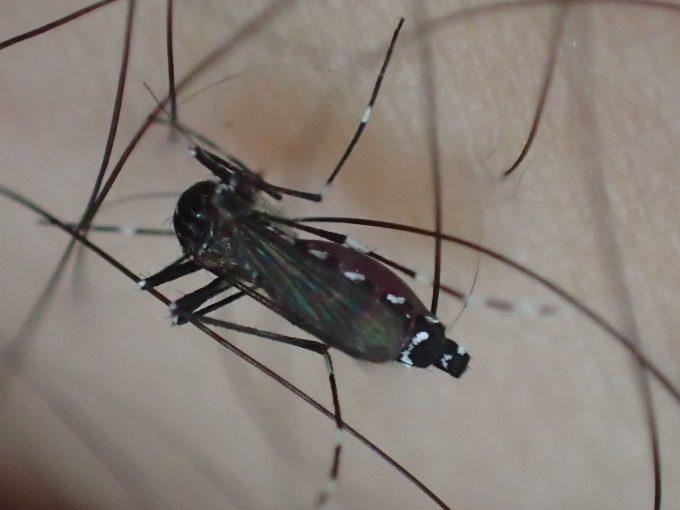 体毛をかき分けて皮膚から血を吸うヤブ蚊・ヒトスジシマカ