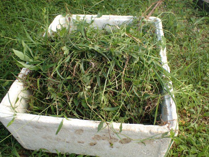 発泡スチロールの箱いっぱいに雑草を刈り取った
