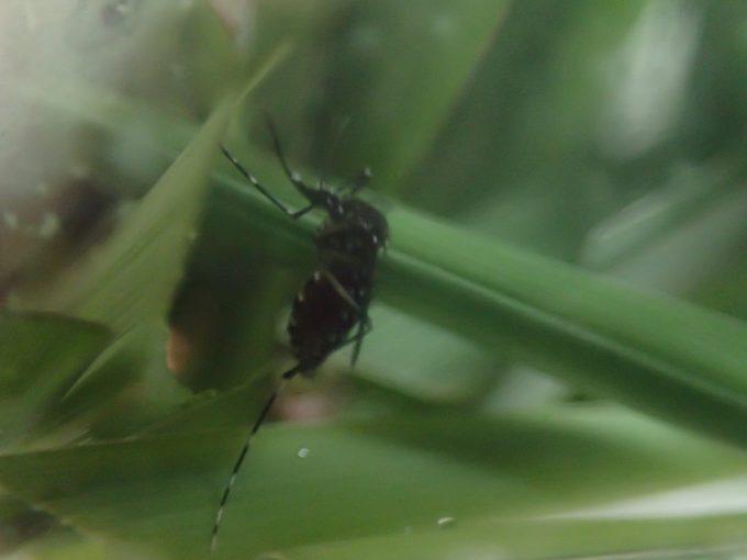 嫌がり苦しむ様子も一切なく平気でレモングラスの葉の上を歩きまわるヤブ蚊(ヒトスジシマカ)