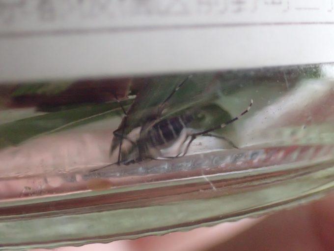 容器の底、レモングラスの葉の下に隠れて生き延びていたヤブ蚊・ヒトスジシマカ!