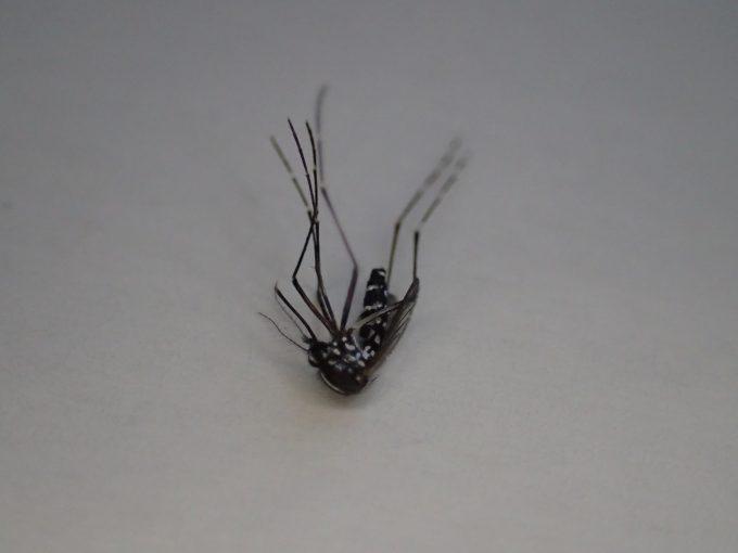 微かに動いてるが飛べず歩けない状態まで弱った蚊