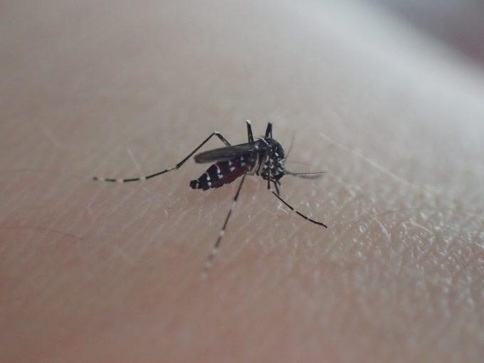 二の腕から血を吸う害虫ヤブ蚊(ヒトスジシマカ)