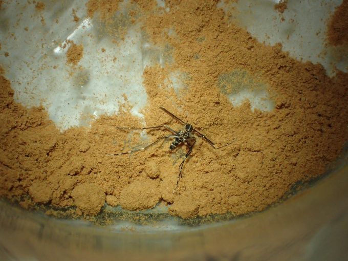 たった一晩で、飛ぶことも歩くことさえもできないほどシナモンで弱った害虫の蚊