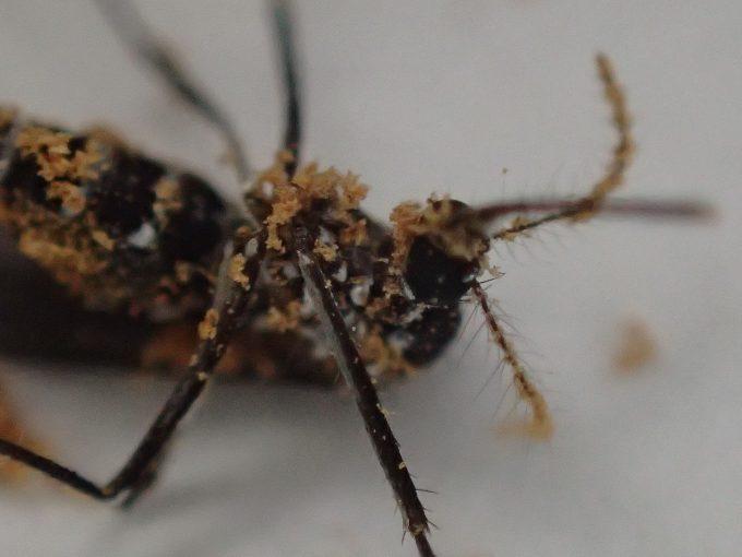 香辛料スパイス『シナモン』でヤブ蚊退治・撃退に成功した写真