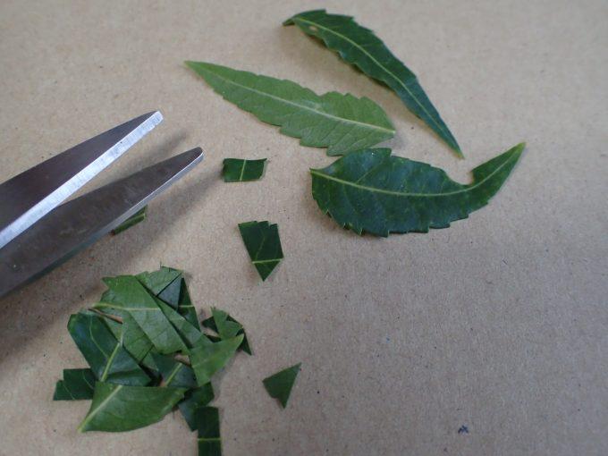 ハサミでミラクルニームの葉を切り分ける