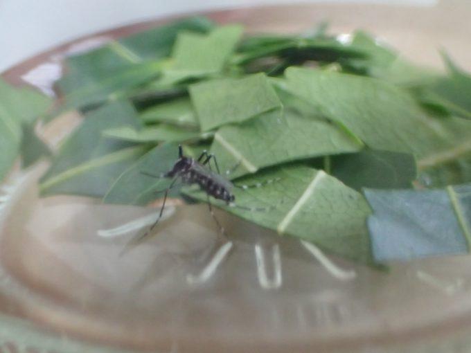ミラクルニームの虫除け・蚊よけ効果に疑問を抱き始めた・・・