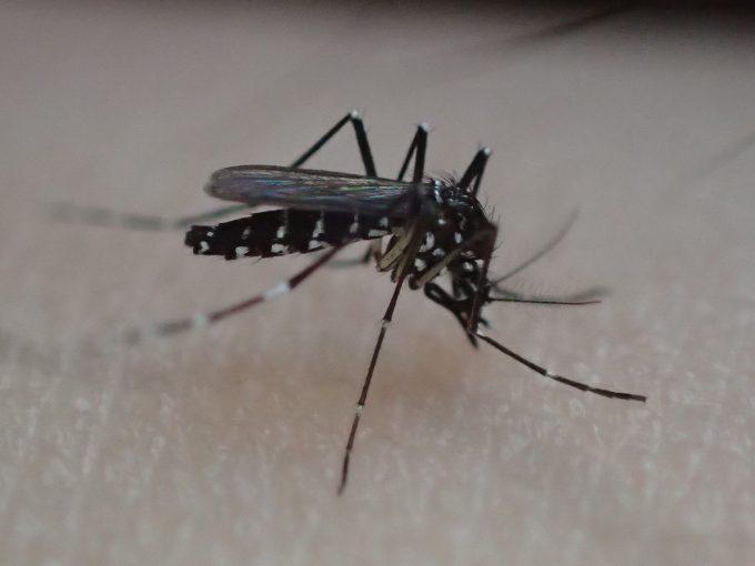音もなく忍び寄り腕から血を吸うヤブ蚊(ヒトスジシマカ)