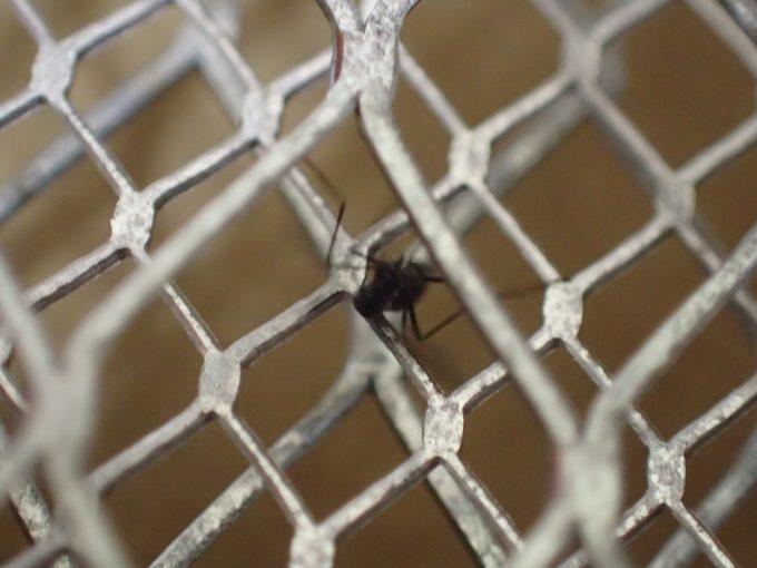 三層構造の金属ネットに次々とヤブ蚊・ヒトスジシマカが引っ掛かって駆除できる