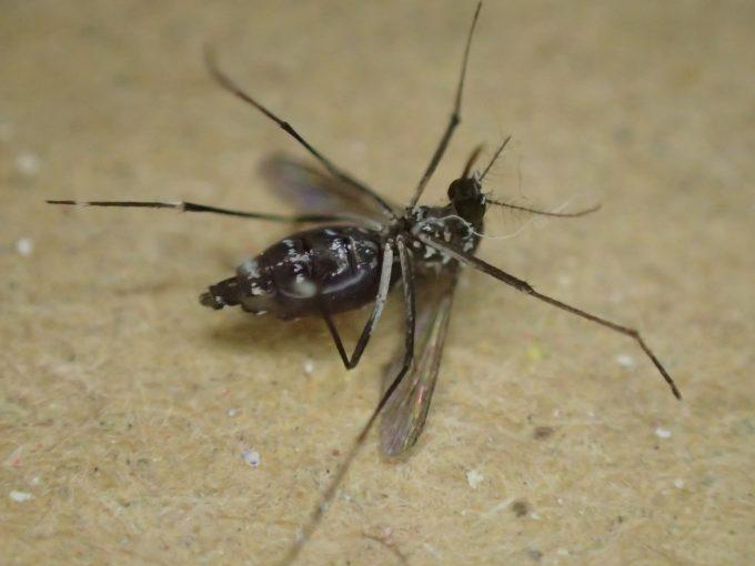 電撃殺虫器の電流攻撃でひっくり返り飛べなくなったヤブ蚊・ヒトスジシマカ