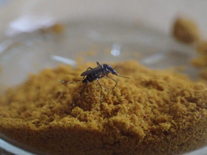 黄色いカレー粉の山を登ったり降りたりを延々と繰り返すヒトスジシマカ