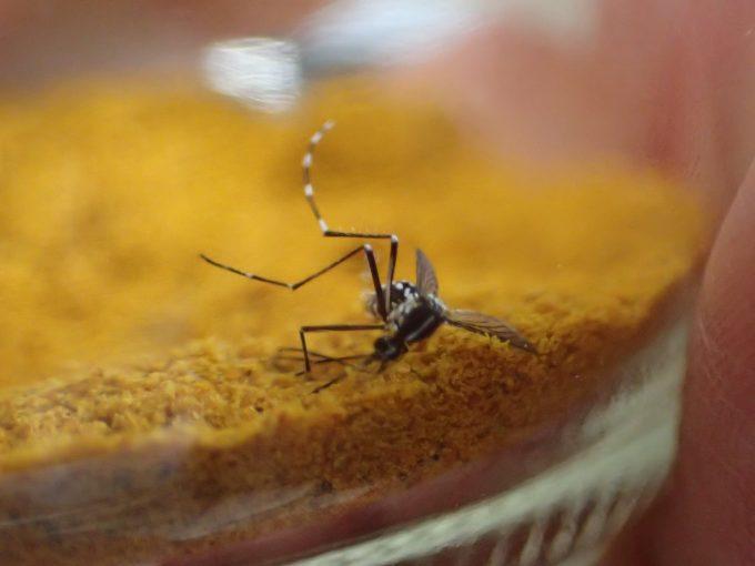 まともに飛べないし歩けないほどカレー粉で弱ったヒトスジシマカ
