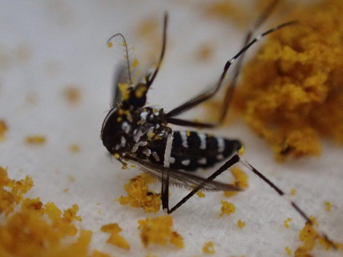 カレー粉まみれになりひっくり返った害虫ヤブ蚊