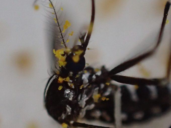カレー粉だらけで息を引き取った害虫ヒトスジシマカ