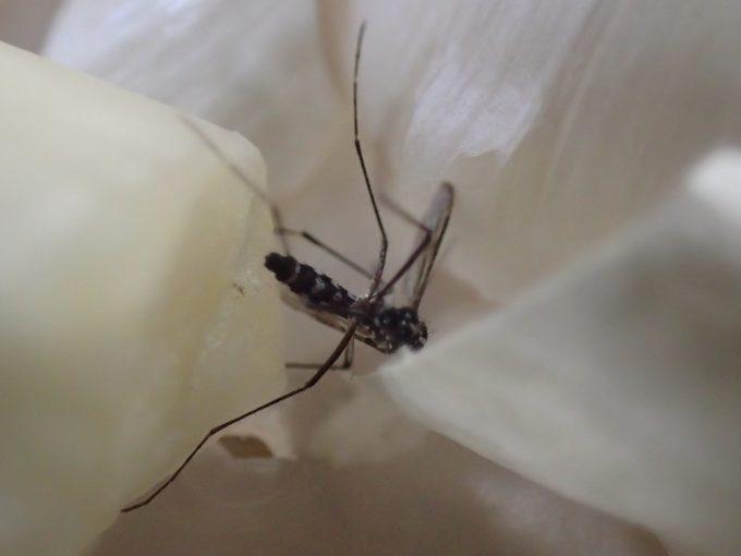 たった30分程度で飛ぶことも歩くこともできないほど蚊を弱らせたニンニク効果