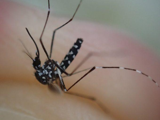 香辛料ニンニクで飛べないほど蚊を弱らせる実験に成功した!