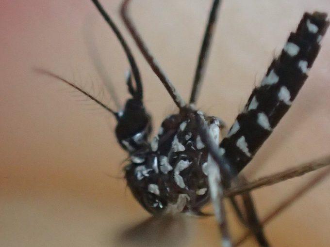 香辛料ニンニクで蚊除け・退治に成功したヤブ蚊の超接写写真(画像)