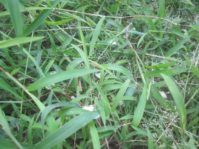害虫ヤブ蚊(ヒトスジシマカ)が潜んでいそうな草むらに散らばったニンニク片
