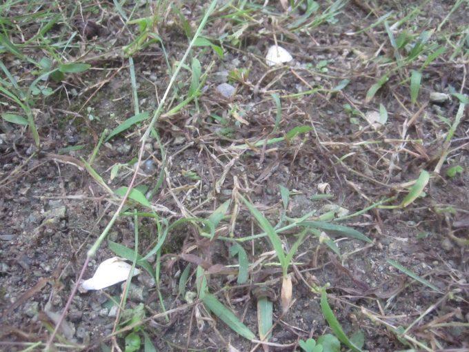 雑草を刈り取った地面に白いニンニク片が落ちている