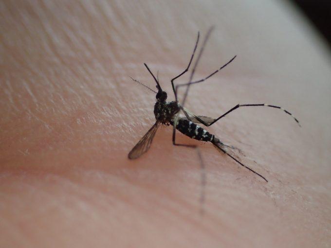 死んでひっくり返った害虫ヤブ蚊(ヒトスジシマカ)