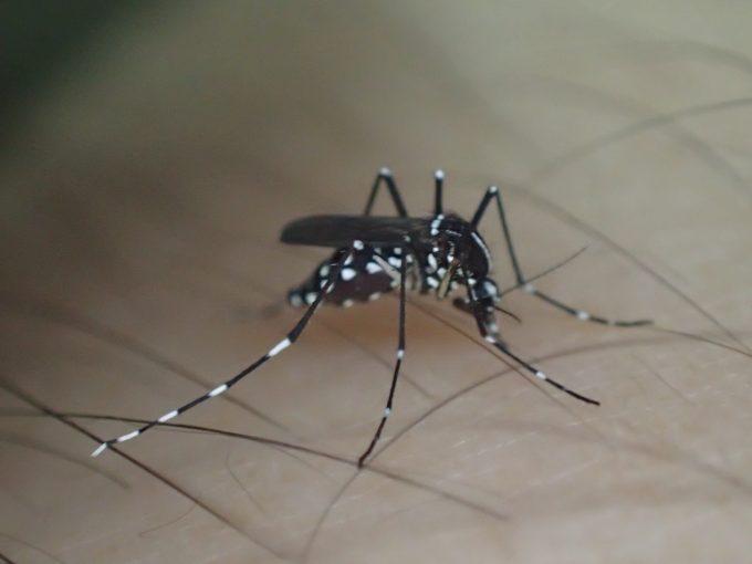 腕から血を吸う害虫ヤブ蚊(ヒトスジシマカ)