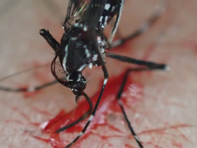 ヒトから吸血したけれど逃げる直前に退治された害虫ヒトスジシマカ