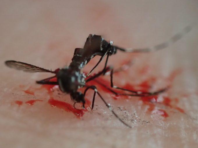 吸血を終える瞬間を狙って駆除された害虫ヤブ蚊の地にまみれた屍骸