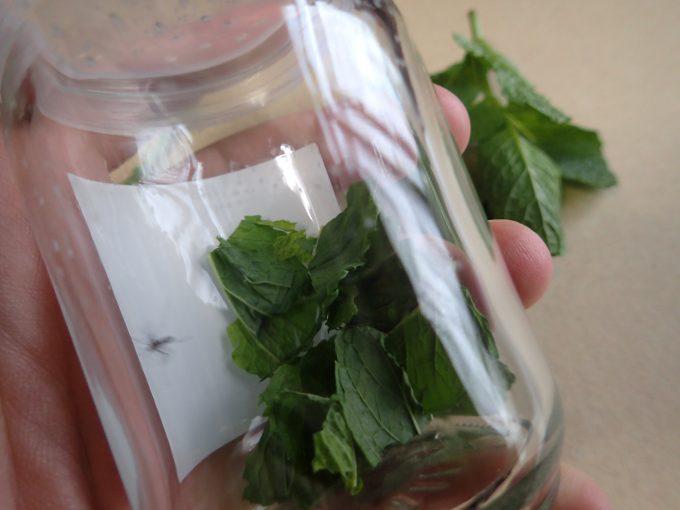 刻んで香りを放出させたハーブ・ミントの葉でヤブ蚊退治を試す