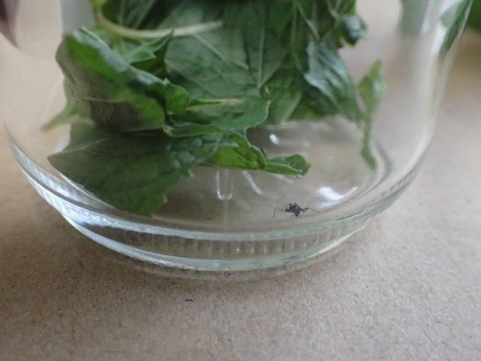 ミントの香りが充満する容器内で平然と休むヤブ蚊(ヒトスジシマカ)